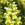 Snapdragon: Antirrhinum majus 'Aromas™ Fresh Lemon'