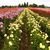 Swan_island_dahlias_fields__2_.small