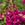 Snapdragon: Antirrhinum majus 'Aromas™ Orchid Bliss'