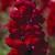 Snapdragon: Antirrhinum majus 'Aromas™ Red Spice'