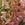 Snapdragon: Antirrhinum majus 'Aromas™ Sweet Pink'