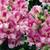 Snapdragon: Antirrhinum majus 'Bells™ Frosty Lavender'