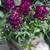 Snapdragon: Antirrhinum majus 'Bells™ Purple'
