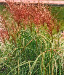 Grass, 'Rotsilber'