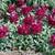 Snapdragon: Antirrhinum majus 'Bells™ Red'