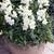 Snapdragon: Antirrhinum majus 'Bells™ White'