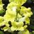 Snapdragon: Antirrhinum majus 'Bells™ Yellow'