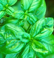 Basil, Sweet Green