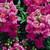 Snapdragon: Antirrhinum majus 'Chimes™ Lavender'