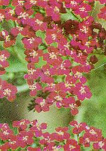 Yarrow, 'Red Beauty'