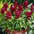 Snapdragon: Antirrhinum majus 'Chimes™ Red'