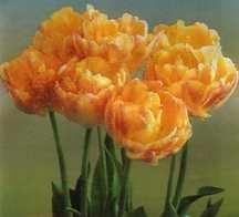 Tulips_tulipa_creme_upstar-1.full