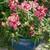 Snapdragon: Antirrhinum majus 'Chimes™ Rose & White'
