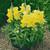 Snapdragon: Antirrhinum majus 'Chimes™ Yellow'