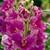 Snapdragon: Antirrhinum majus 'La Bella™ Lavender'