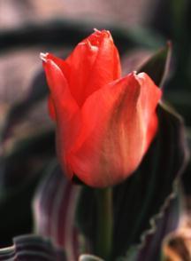 Tulips_tulipa_oratorio-1.full