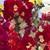 Snapdragon: Antirrhinum majus 'La Bella™ Red & White'