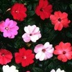 Impatiens, New Guinea 'Spectra' Hybrid  Mix