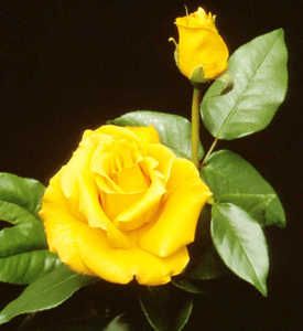 Rose, Hybrid Tea 'Celebrity'
