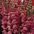 Snapdragon: Antirrhinum majus 'Opus™ Lavender III'