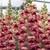 Snapdragon: Antirrhinum majus 'Opus™ Plum Blossom III/IV'