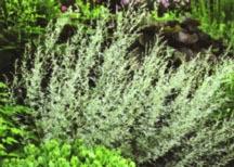 Artemisia_artemisia_ludoviciana_valerie_finnis-1.full