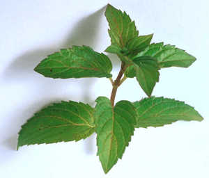 Mint, Dwarf Peppermint (Nana)