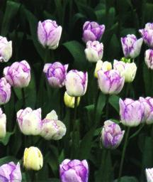 Tulips_tulipa_shirley-1.full