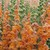 Snapdragon: Antirrhinum majus 'Overture II™ Light Bronze'
