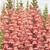 Snapdragon: Antirrhinum majus 'Overture II™ Light Pink'
