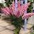 Snapdragon: Antirrhinum majus 'Overture II™ Pink'