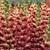 Snapdragon: Antirrhinum majus 'Overture II™ Plum Blossom'