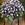 Torenia: Torenia Fournieri, 'Duchess™ Blue & White'