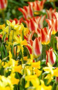 Daffodil, Cyclamineus 'February Gold'