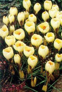 Crocus, Spring Flowering Snow 'Cream Beauty'
