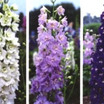 Delphinium, 'Magic Fountains'