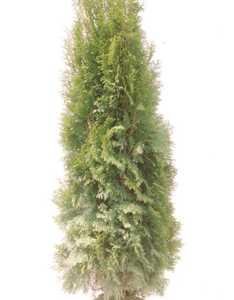 Arborvitae, American 'Emerald Green'