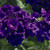 Verbenas: Verbena 'Tuscany® Blue'