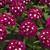 Verbenas: Verbena 'Tuscany® Burgundy With Eye'