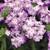 Verbenas: Verbena 'Tuscany® Lavender Picotee'