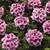 Verbenas: Verbena 'Tuscany® Orchid Frost'