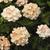 Verbenas: Verbena 'Tuscany® Peach'
