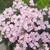 Verbenas: Verbena 'Tuscany® Pink Picotee'