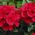 Verbenas: Verbena 'Tuscany® Scarlet'