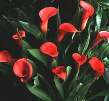 Calla Lily, 'Rubylite Rose'