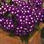 Verbenas: Verbena 'Tuscany® Violet With Eye'