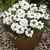 Verbenas_verbena_tuscany_r_white-1.small