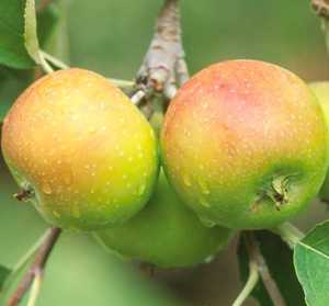 Apple Tree, Semi-dwarf 'Smokehouse'