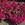 Vinca: Catharanthus Roseus, 'Cora® Burgundy'