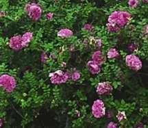 Rose, Antique 'Chestnut Rose' (prior to 1814)